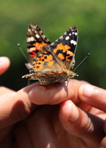 Phipps Science Education_ Butterflies (1)